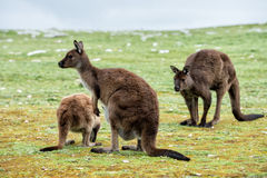 Kangaroos mother father and son portrait Stock Photo