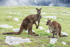 Kangaroos mother father and son portrait Royalty Free Stock Image