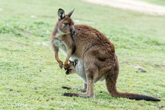 Kangaroos mother father and son portrait Royalty Free Stock Images