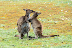 Kangaroos mother and son portrait Royalty Free Stock Photos