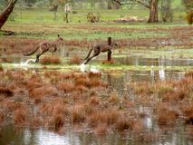 Kangaroos on the move. Kangaroos moving to dry land on a farm in Australia Royalty Free Stock Images