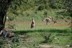 Kangaroos on the move Royalty Free Stock Photos