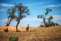 Kangaroos in Mungo National Park, Australia Royalty Free Stock Image