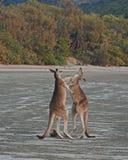 Kangaroos Playful Boxing Royalty Free Stock Photo