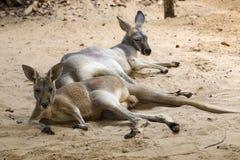 Kangaroos relaxing on the ground Stock Image