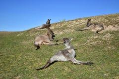 Kangaroos Stock Photography