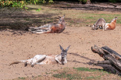 Kangaroos resting on the sand Stock Photography