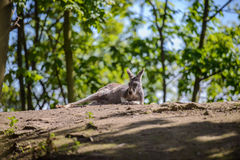 Kangaroos resting in the shade Royalty Free Stock Photo