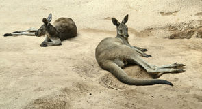 Kangaroos Royalty Free Stock Photography