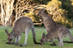 Kangaroos at Sunrise Stock Photos