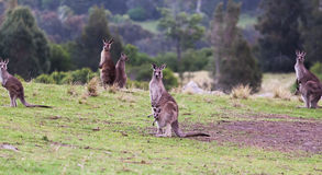 Kangaroos at sunset. Eurobodalla national park. Australia Stock Photos