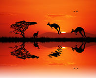 Kangaroos at sunset Royalty Free Stock Image