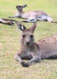 Kangaroos take a rest Royalty Free Stock Images