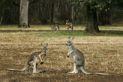 Kangaroos on their feet Stock Photo