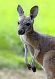 Kangaroos Royalty Free Stock Images