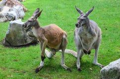 Kangaroos Royalty Free Stock Photo