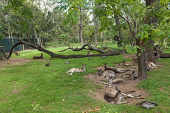 Kangaroos & wallabies resting Royalty Free Stock Photos
