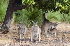 Kangaroos with wet fur standing in rain, West Australia Royalty Free Stock Photography