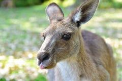 Kangaroos in wild nature stock photography
