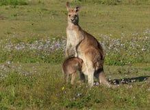 Kangaroos royalty free stock image