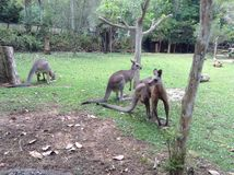 Kangaroos. At zoo Stock Image