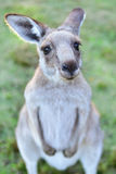 Kangarros in wild nature Royalty Free Stock Images