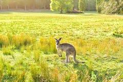 Kangarros in wild nature Stock Photo