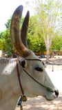 Kangayam cattle breed with huge horns used for jallikattu & x28;bull taming& x29; stock photo
