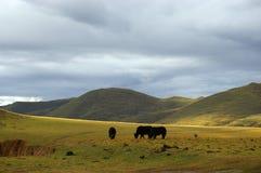 kangding yak στοκ εικόνες με δικαίωμα ελεύθερης χρήσης