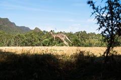 Kangeroo скача в злаковик в Grampians, Австралию Стоковая Фотография RF