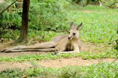 Kangeroo dans le zoo de Singapour Photographie stock