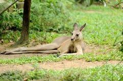 Kangeroo en el parque zoológico de Singapur Fotografía de archivo