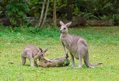 2 Kangeroos Стоковое Изображение RF