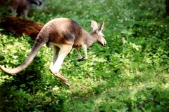 Kangoeroe 1 Royalty-vrije Stock Afbeelding