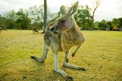 Kangoeroe Stock Afbeelding