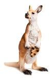 kangoeroe Royalty-vrije Stock Afbeelding