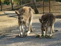 Kangoeroe-2 Royalty-vrije Stock Afbeeldingen