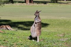 kangoeroe Stock Fotografie