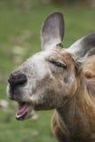 Kangoeroe royalty-vrije stock foto's