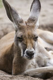 Kangoeroe stock foto