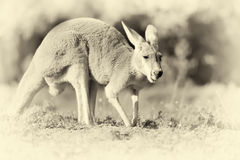 Kangoeroe in aard Uitstekend Effect Royalty-vrije Stock Afbeeldingen
