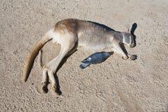 Kangoeroe. Australië Royalty-vrije Stock Fotografie