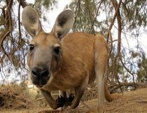 Kangoeroe, Australië stock afbeeldingen