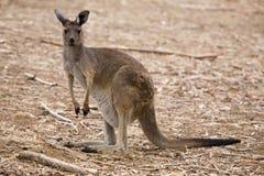 Kangoeroe Australië Stock Afbeeldingen