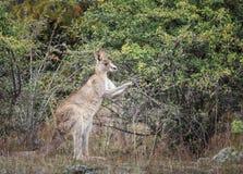 Kangoeroe in de wildernis stock foto's