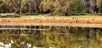 Kangoeroe in de wildernis Stock Fotografie