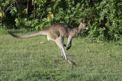 Kangoeroe die langs het groene gebied springen stock fotografie