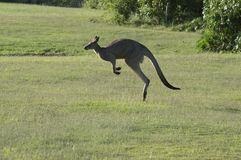 Kangoeroe die langs het groene gebied springen royalty-vrije stock foto's