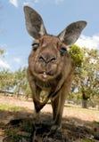 Kangoeroe die onderaan de lens kijkt Stock Afbeeldingen