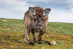 Kangoeroe die u op het gras bekijken Royalty-vrije Stock Foto